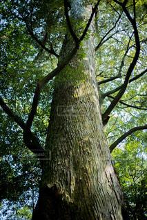 大きな木の写真・画像素材[1157600]