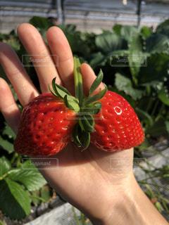 屋外,赤,苺,果物
