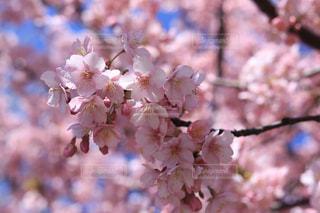 満開の河津桜の写真・画像素材[1838981]