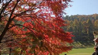 紅葉最中のゴルフの写真・画像素材[2595814]