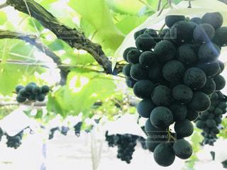 食べ物,フルーツ,果物,葡萄,ぶどう狩り,ぶどう