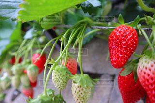 食べ物,赤,いちご,苺,フルーツ,果物,果実,いちご狩り,食材,イチゴ