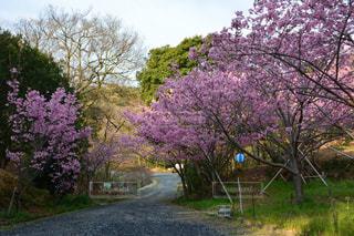 桜 - No.419149