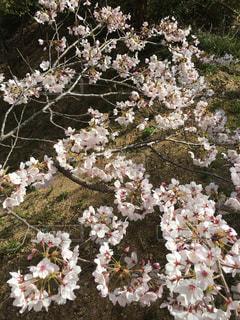 桜 - No.419178
