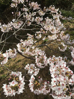 桜の写真・画像素材[419192]
