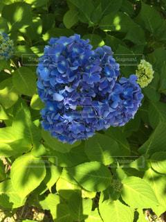 紫陽花の写真・画像素材[534831]