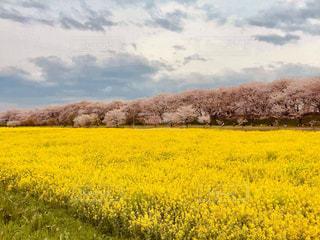 自然,桜,お花見