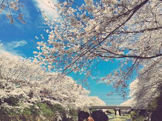 桜,花見,満開,加工なし