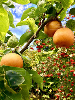 食べ物,木,植物,茶色,フルーツ,果物,梨,果実,食材,なし