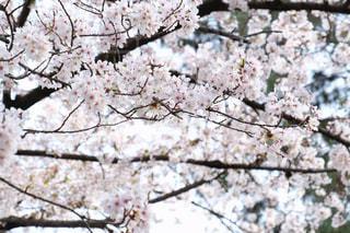 自然,公園,花,春,桜,屋外,花見,お花見,ライフスタイル