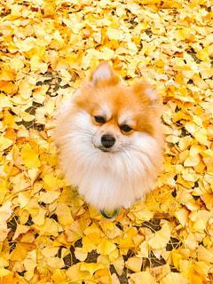 犬,ポメラニアン,落ち葉,イチョウ,銀杏,イチョウ並木,黄色の世界,イチョウのじゅうたん,黄色に囲まれて