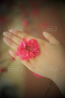 桃の花の指輪の写真・画像素材[2032006]