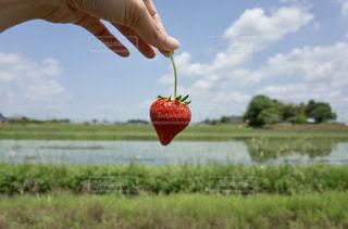 食べ物,春,青空,いちご,苺,フルーツ,果物,新鮮,畑,ストロベリー,イチゴ,フレッシュフルーツ