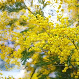 花,春,フラワー,黄色,ミモザ,イエロー