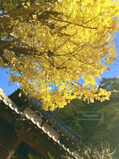 黄色,イチョウ,イエロー,色,黄,yellow