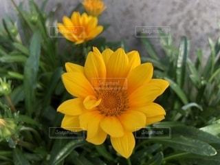 花,黄色,イエロー,お散歩,色,黄,yellow,ガザニア