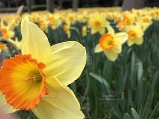 花,黄色,水仙,スイセン,イエロー,お散歩,色,黄,yellow