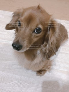 甘えんぼの上目遣いが得意な愛犬です。の写真・画像素材[2743255]