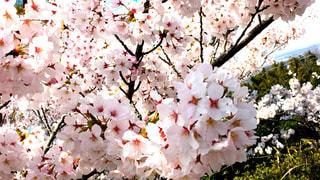 空,花,春,桜,植物,樹木,お花見,明るい,景観,日中