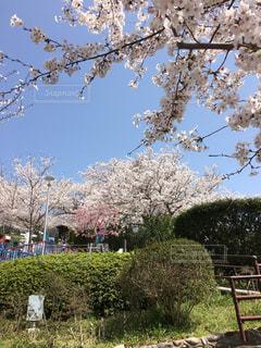 空,花,春,桜,屋外,樹木,お花見,景観,日中,須磨浦公園