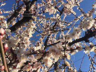 風景,空,春,梅,花見,東京都,ライフスタイル