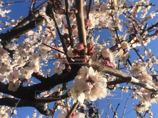 風景,空,春,屋外,梅,花見,東京都,ライフスタイル