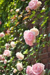 つるバラの写真・画像素材[1794615]
