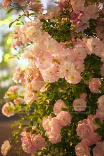 夜のバラの写真・画像素材[1794617]