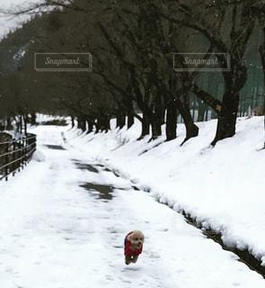 雪道を疾走するマハロの写真・画像素材[1759819]