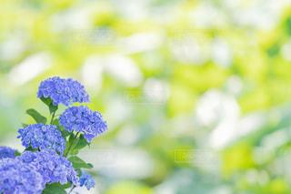 紫陽花の写真・画像素材[3395811]