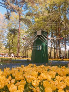 花畑,黄色,風車,チューリップ