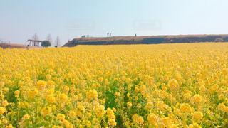 自然,空,春,お花畑,青空,黄色,菜の花,イエロー