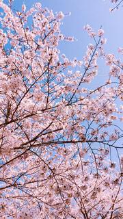 自然,春,桜,青空,観光,お花見,ブロッサム