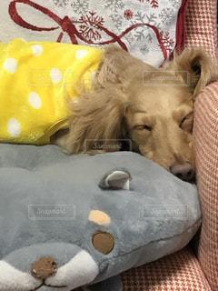 毛布の上に横たわる犬の写真・画像素材[1836042]