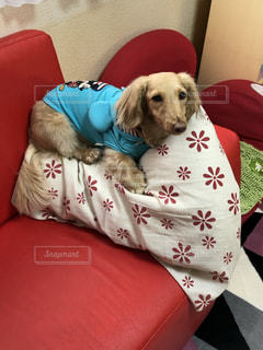 赤い毛布の上に横たわっている犬の写真・画像素材[2114713]
