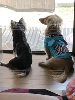 犬,動物,チワワ,かわいい,ダックス