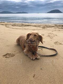砂浜に横たわっている犬の写真・画像素材[2136965]