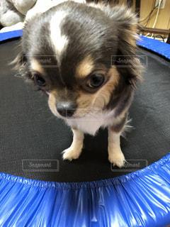 小さな茶色と白の犬の写真・画像素材[2185936]