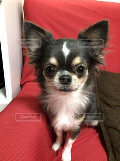 ソファの犬の写真・画像素材[2709555]