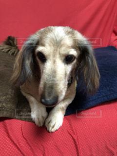 赤い毛布をかぶっている犬の写真・画像素材[2710848]
