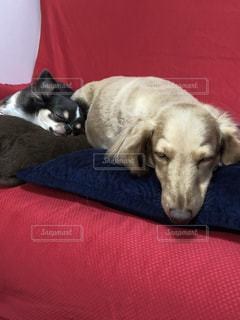 赤い毛布の上に横たわっている犬の写真・画像素材[2715950]