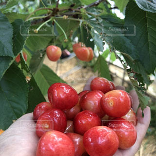 食べ物,赤,果物,さくらんぼ,果実,果物狩り