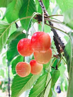 食べ物,赤,果物,さくらんぼ,果実