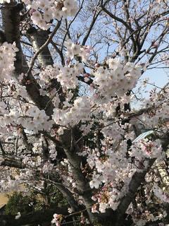 花,春,桜,枝,樹木,桜の花,さくら,ブロッサム