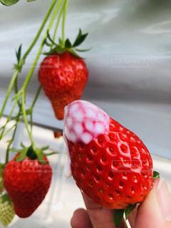 赤,季節,いちご,苺,フルーツ,いちご狩り,お出かけ,イチゴ,色・表現,イベント・行事,半田市