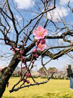 木の枝にピンク色の花のグループの写真・画像素材[1803840]