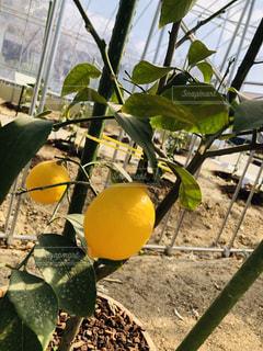 近くに果物の木のアップの写真・画像素材[1804810]