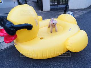 犬,黄色,大きい,トイプードル,野外,浮き輪,こいぬ,あひる,幸せの黄色フォト