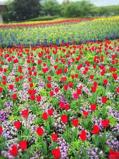 春,季節,チューリップ,お花見,色,多色,色・表現