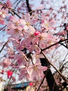 近くにピンクの花の木のの写真・画像素材[1924640]